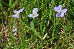 Fen Violet (Viola persicifolia)